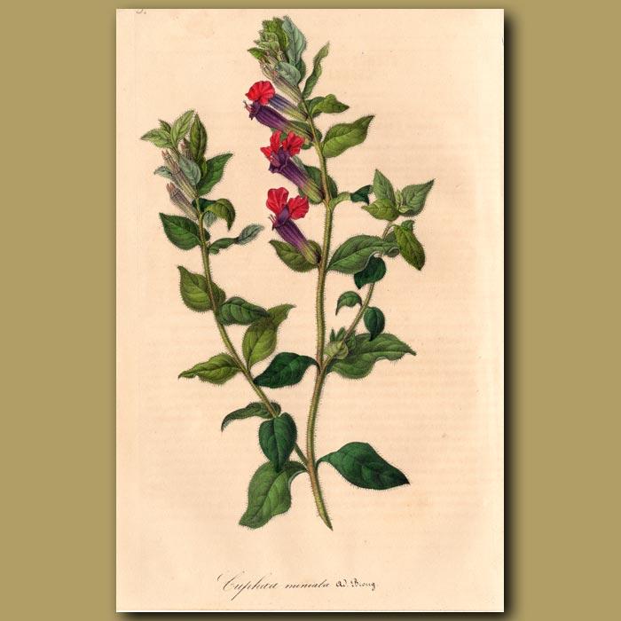 Antique print. Mexican Cuphea: Cuphea Miniata