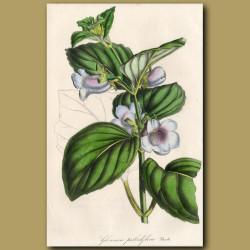 Gloxinia: Gloxinia Pallidiflora