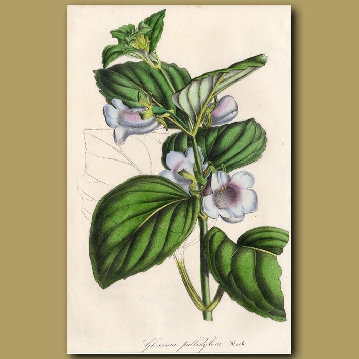Antique print. Gloxinia: Gloxinia pallidiflora