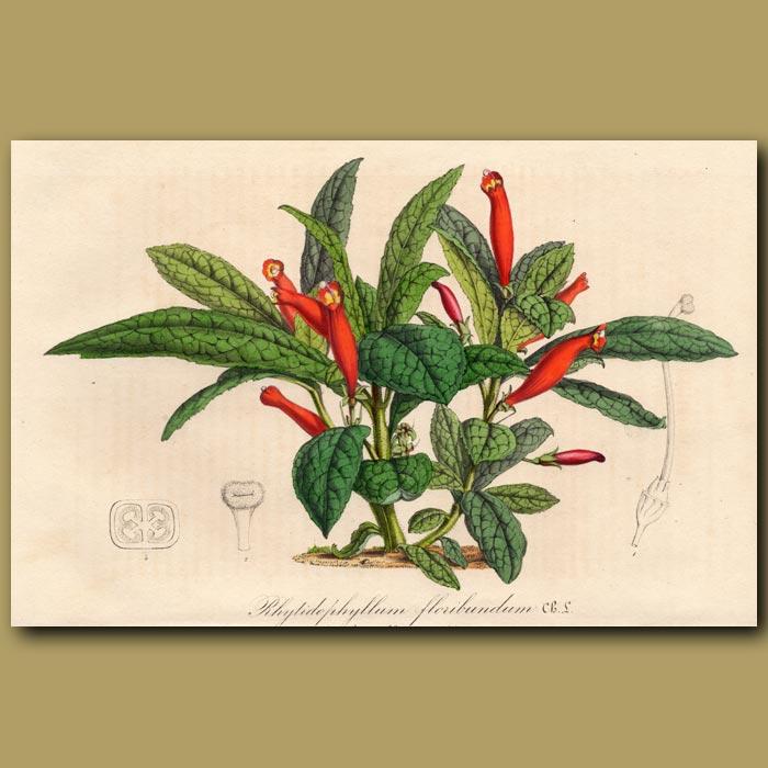 Antique print. Gesnera: Rhytidophyllum floribundum