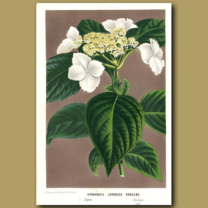 Antique print. Hydrangea