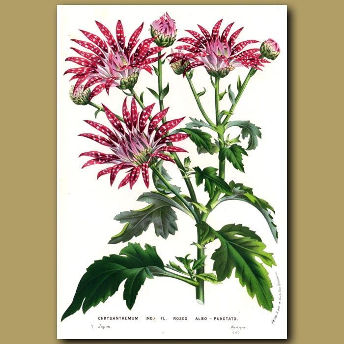 Antique print. Chrysanthemum