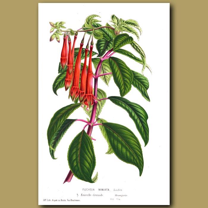 Antique print. Fuchsia