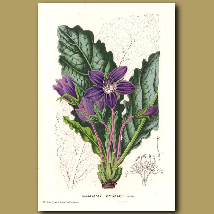 Antique print. Mandrake