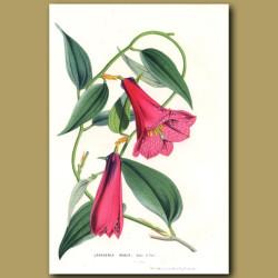 Chilean Bellflower
