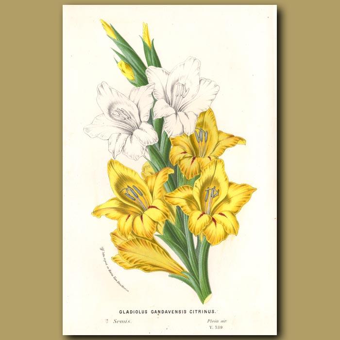 Antique print. Gladiolus