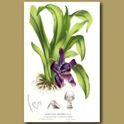 Huntleya Orchid