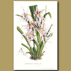 Spotted Ondontoglossum Orchid