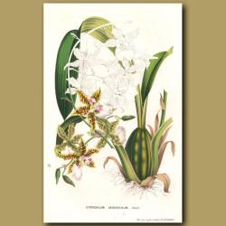 White-Lipped Oncidium Orchid