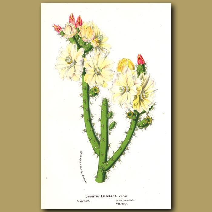Antique print. Cactus