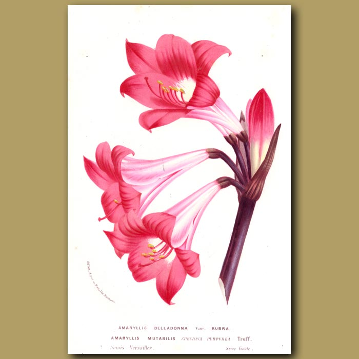 Antique print. Naked Lady Lily