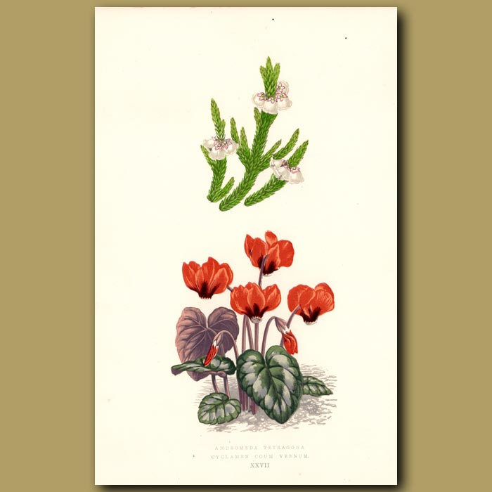 Antique print. Andromeda and Cyclamen