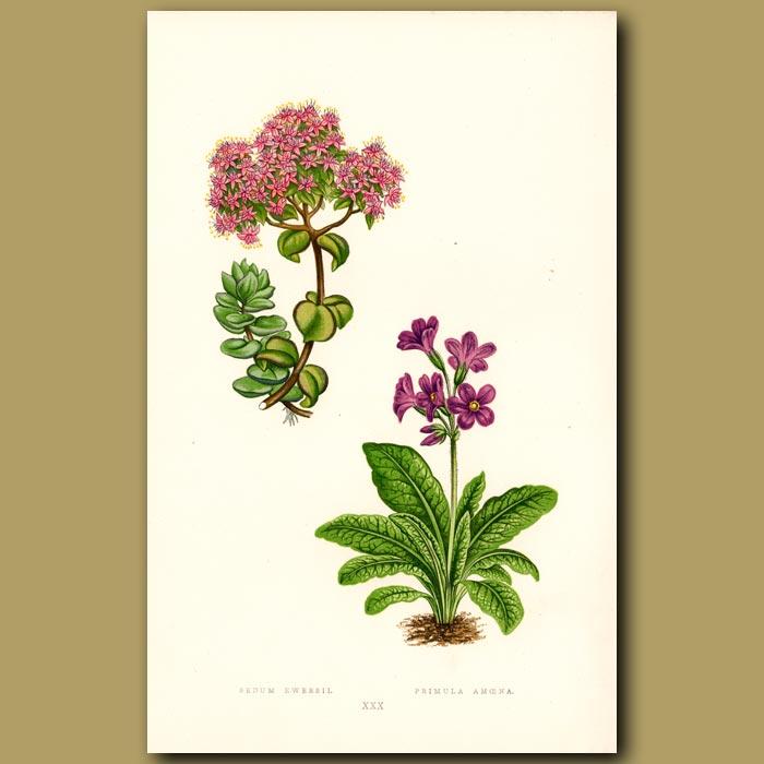Antique print. Stonecrop and Primula