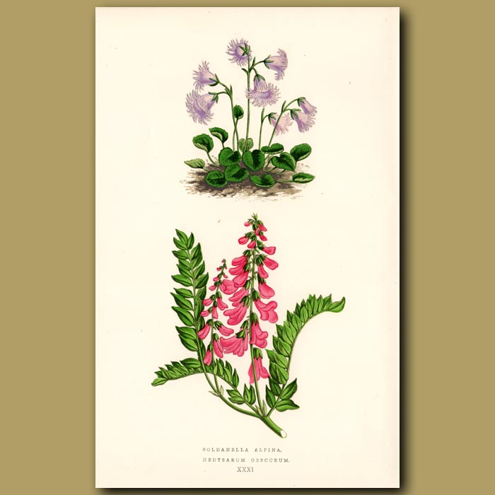Antique print. Snowflower and Sweetvetch