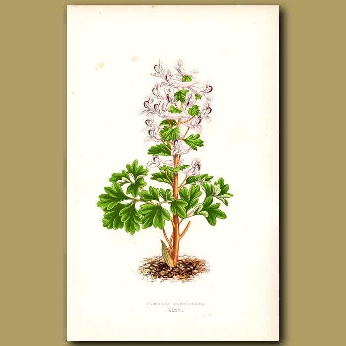 Antique print. Fumaria Densiflora