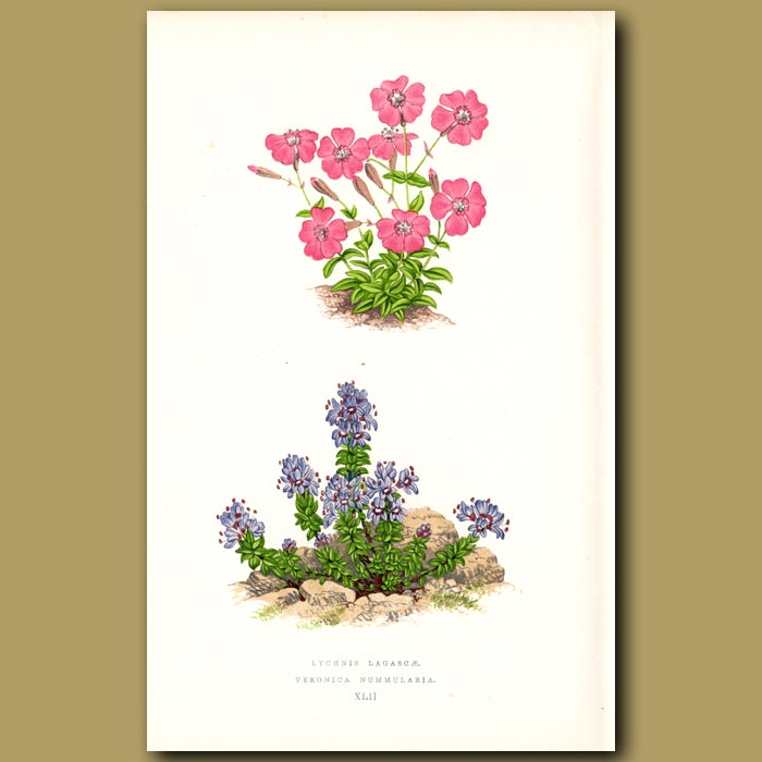 Antique print. Veronica and Lychnis