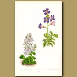 Bellflowers and Aubretia