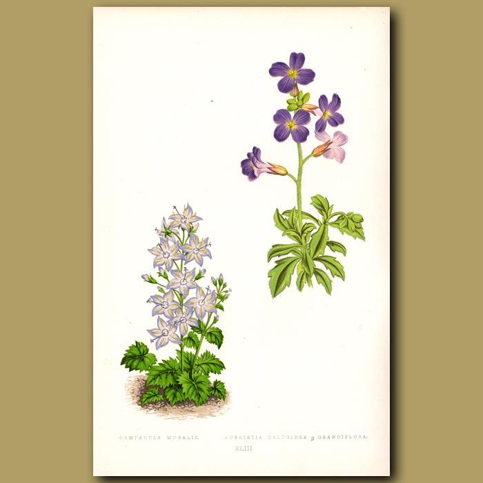 Antique print. Bellflowers and Aubretia