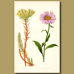 Stonecrop and Aster