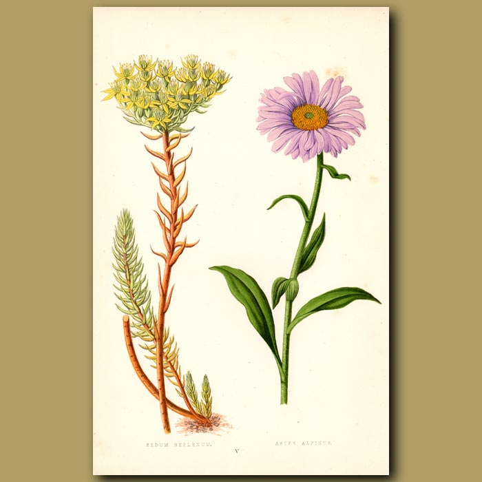 Antique print. Stonecrop and Aster