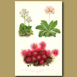 Primula and other alpine flowers