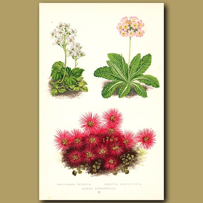 Antique print. Primula and other alpine flowers