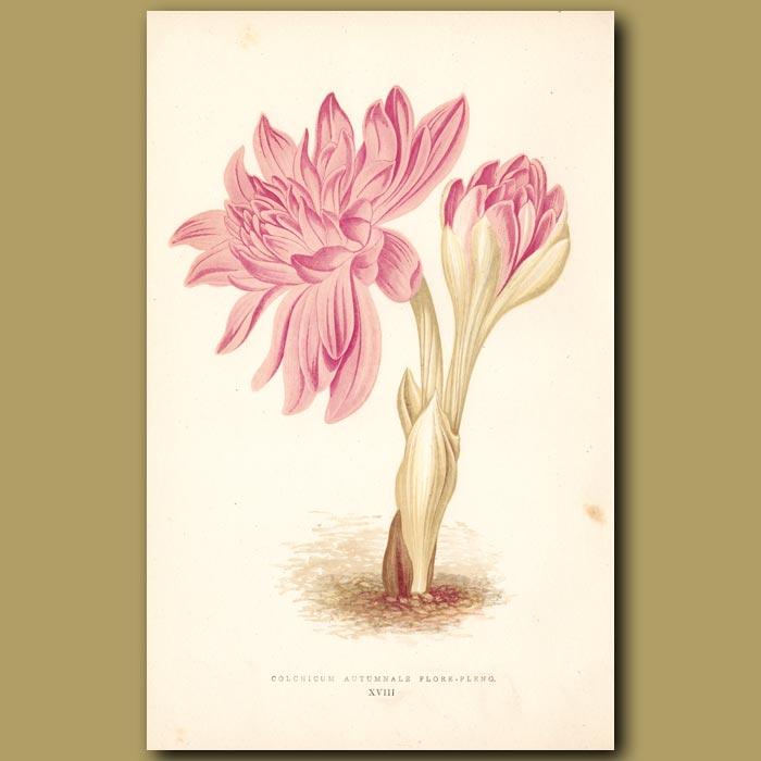 Antique print. Autumn Crocus