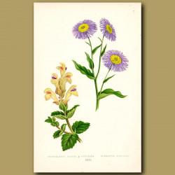Blue Daisy and Skullcap Flowers