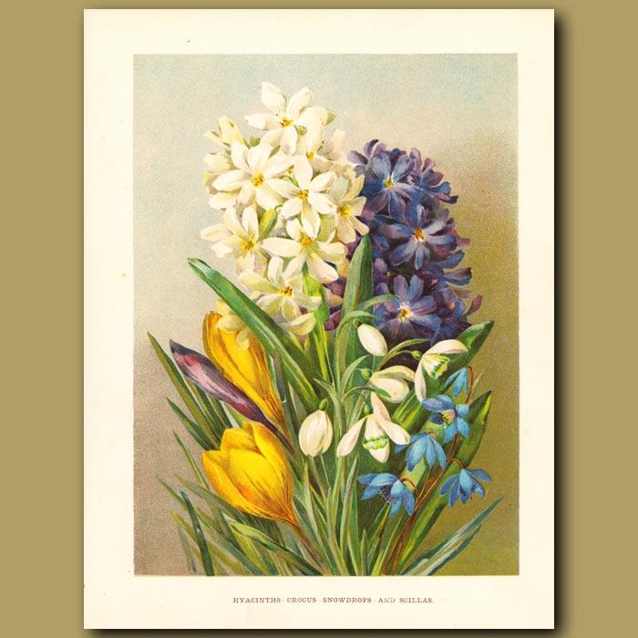 Antique print. Hyacinth, Crocus, Snowdrops and Scillas