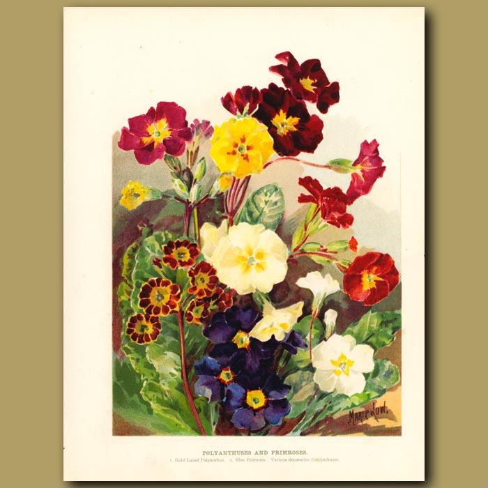 Antique print. Polyanthuses and Primroses