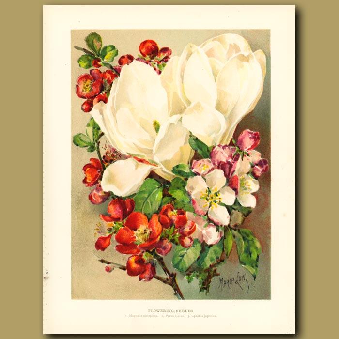 Antique print. Flowering Shrubs