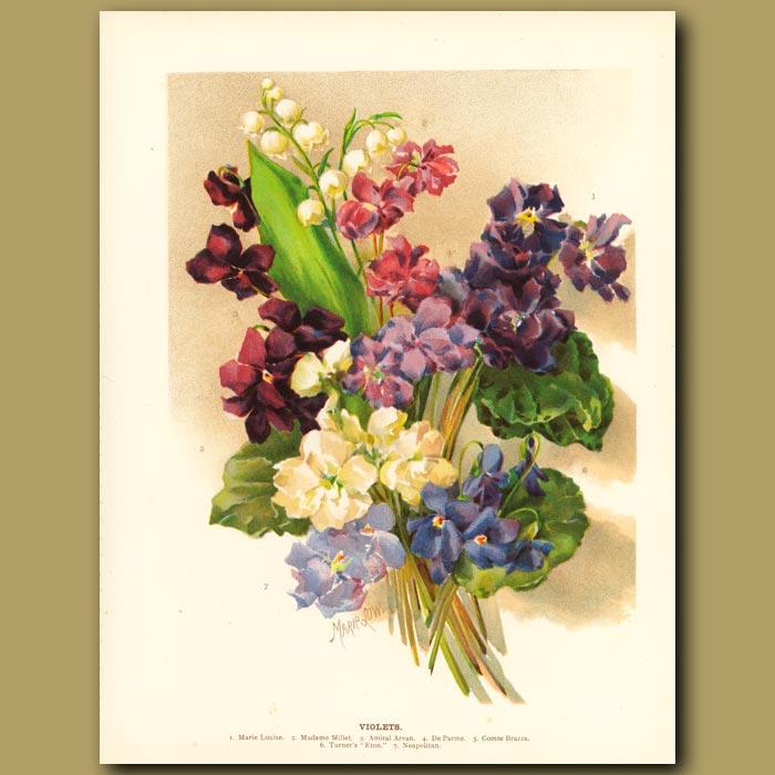 Antique print. Violets
