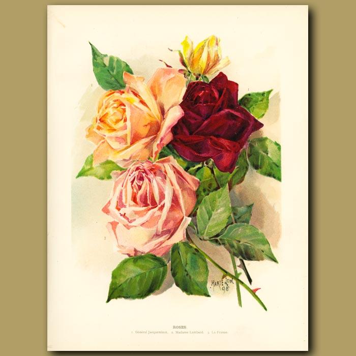 Antique print. Roses
