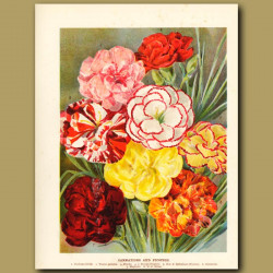 Carnations and Picotees