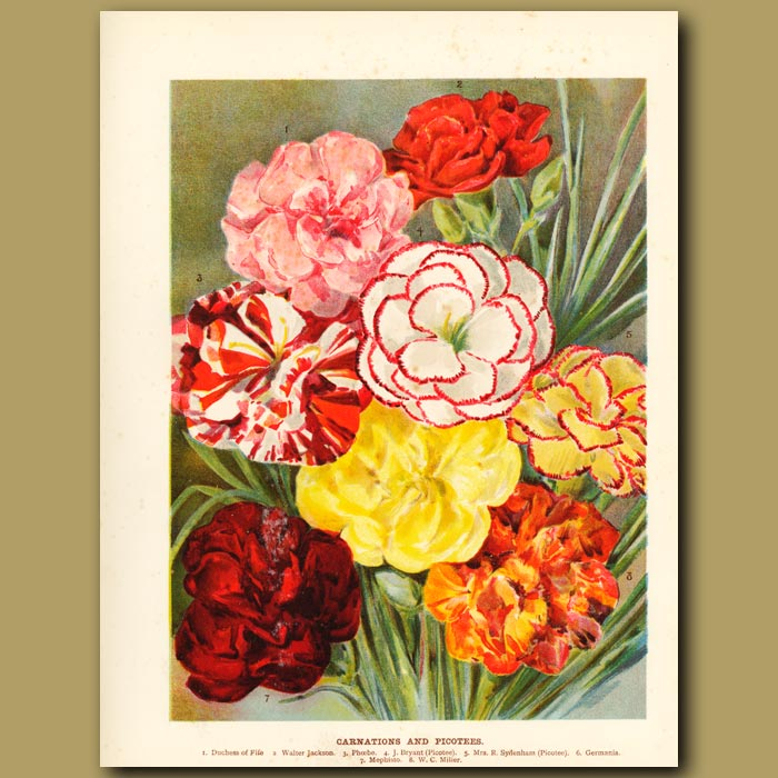 Antique print. Carnations and Picotees