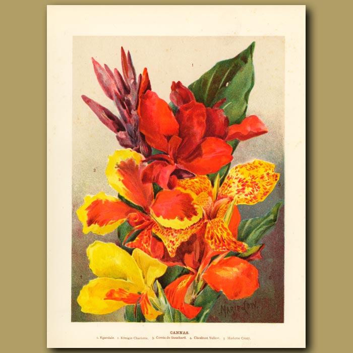 Antique print. Canna Lilies