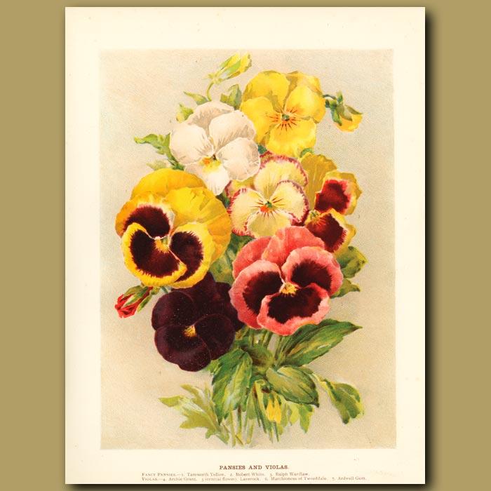 Antique print. Pansies and Violas