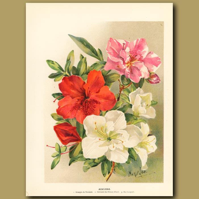 Antique print. Azaleas