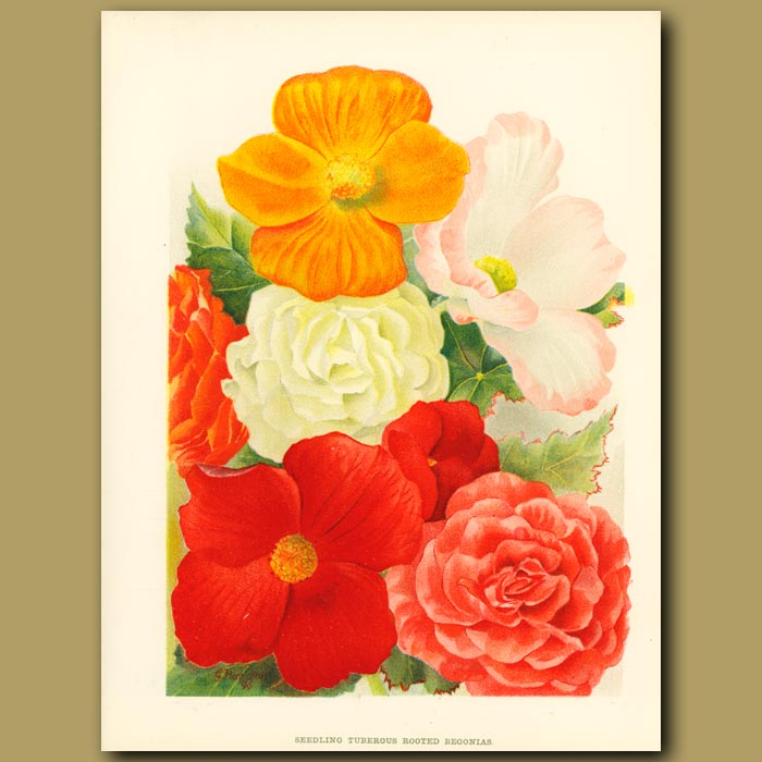 Antique print. Tuberous Rooted Begonias
