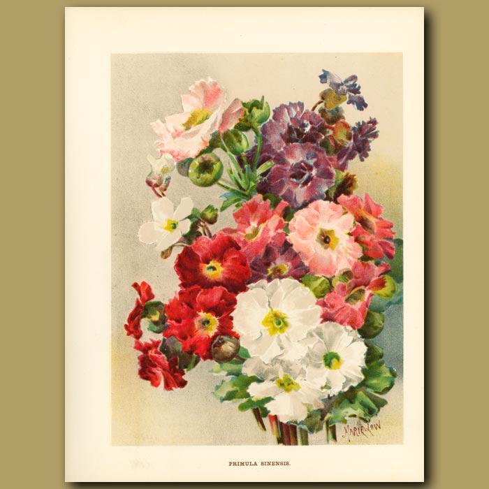 Antique print. Primula Sinensis