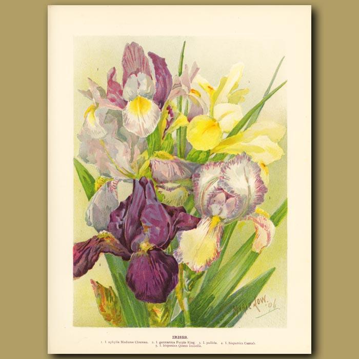 Antique print. Irises