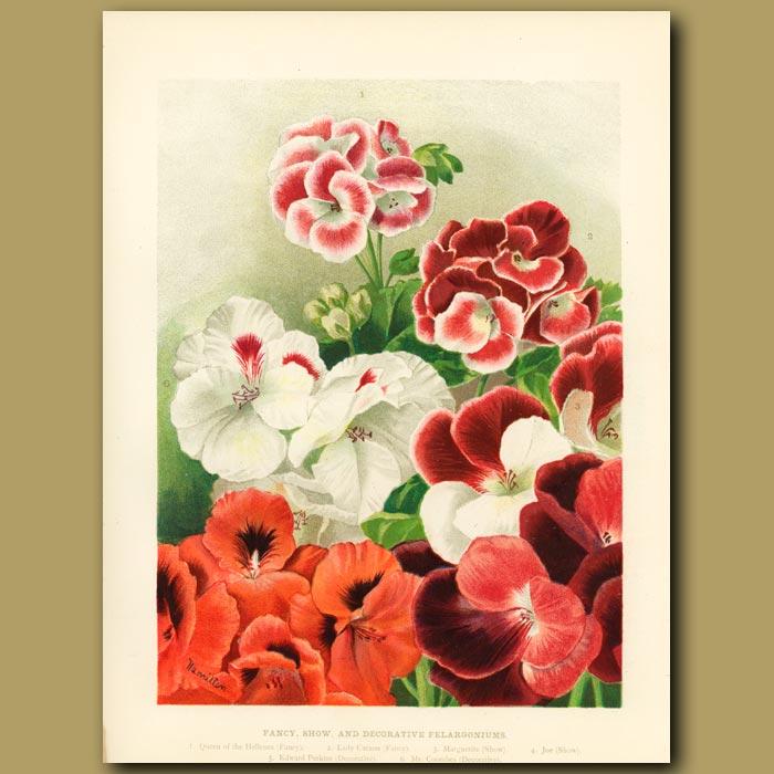 Antique print. Fancy show and decorative Pelargoniums
