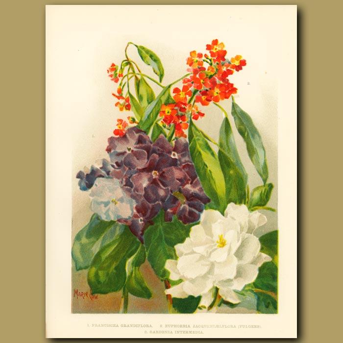 Antique print. Franciscea, Euphorbia jacquenlaelflora (Fulgens) and Gardenia