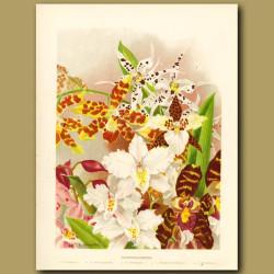 Ondontoglossum Orchids