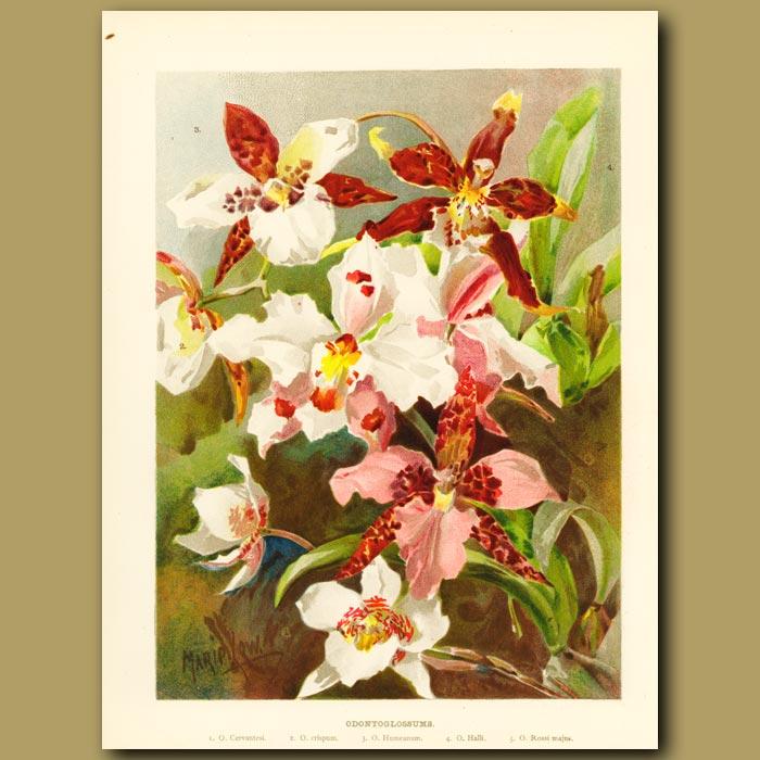 Antique print. Ondontoglossum Orchids
