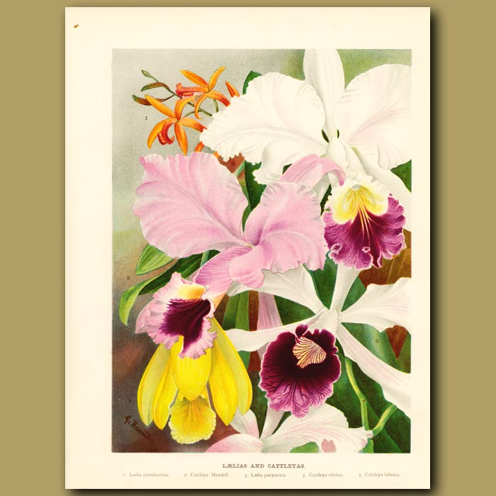 Antique print. Laelia and Catteleya Orchids