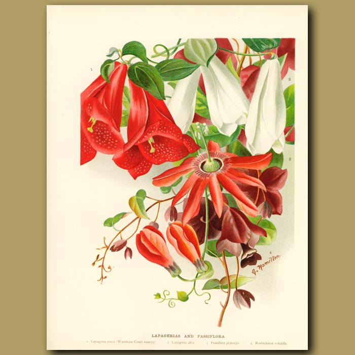 Antique print. Passion Flowers and Lapagerias