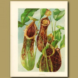 Nepenthes Carnivorous Pitcher Plant