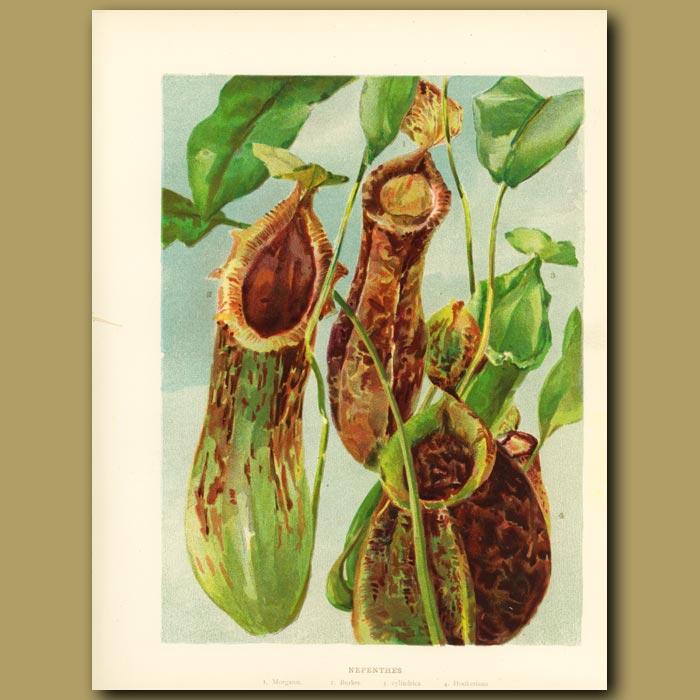 Antique print. Nepenthes Carnivorous Pitcher Plant