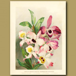 Group of orchids from Mr. Chamerlain's collection